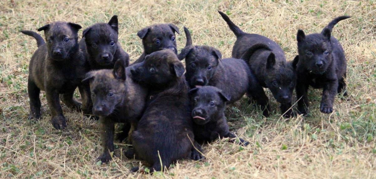cuccioli pastore olandese 2016