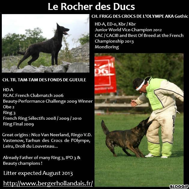 Cuccioli cane da pastore olandese