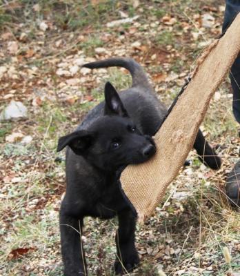 Cucciolo cane da pastore olandese lavoro IPO